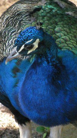 4.peacockface